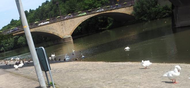 SD swans Wasserbillig 716.JPG