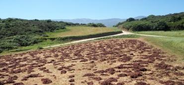 seaweed fertilising field walk Celorio-Poo 816.JPG