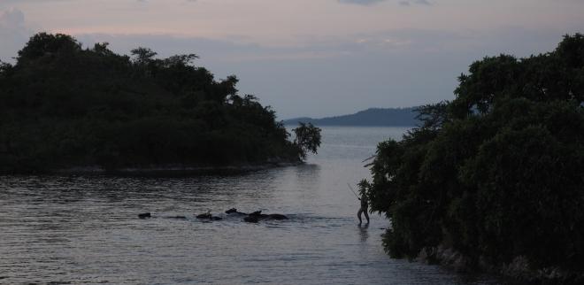 cows swimming Four Islands houseboat Iliza Lake Kivu 417 2.JPG