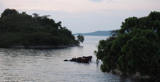 cows swimming Four Islands houseboat Iliza Lake Kivu 417.JPG