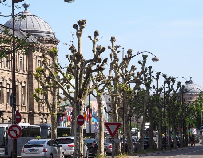 plane trees Strasbourg 518.JPG
