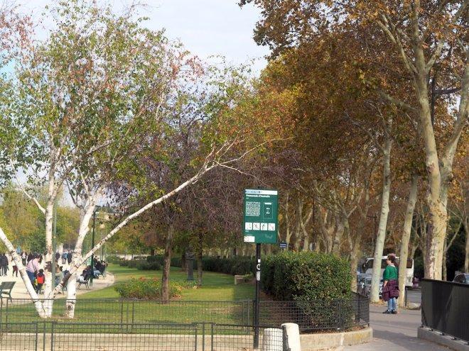 silver birch and plane trees Paris 1018.JPG