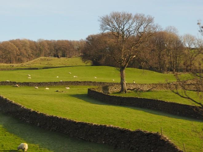 train Windermere-Oxenholme 1117 sheep walls.JPG